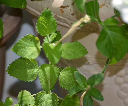 young lemon balm