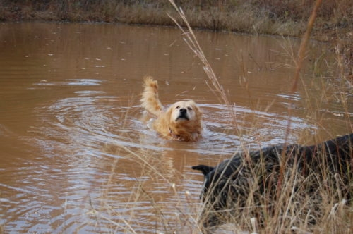 dogs in muddy water