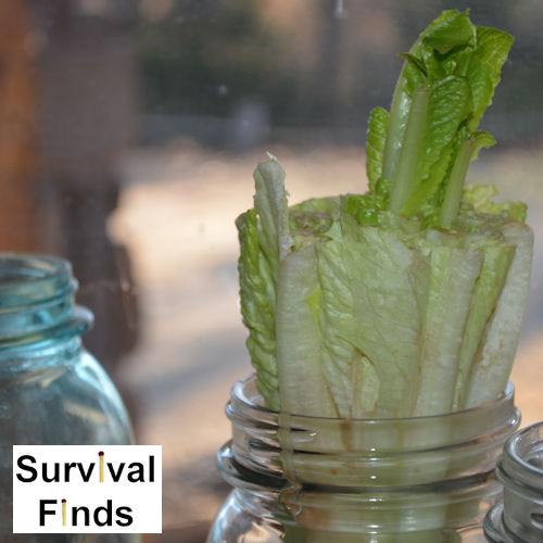 Regrowing Romaine