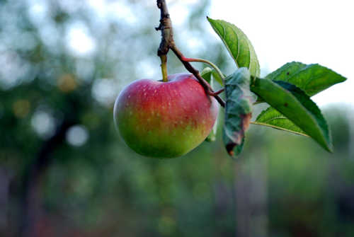 Not Much Space? Consider Dwarf Fruit Trees