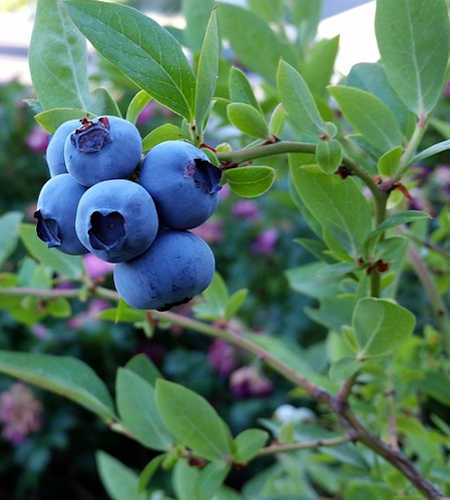 Top Five Berry Plants for an Edible Yard