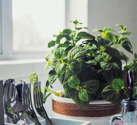 herb in windowsill