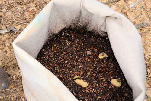 Potatoes planted in laundry bag