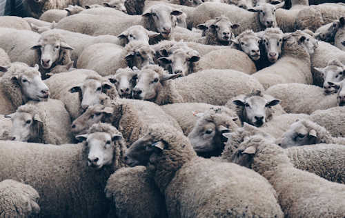 crowd of sheep